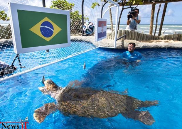 Turtle Cabecaoo predicts world cup outcome, Praia Do Forte, Brazil - 10 Jun 2014